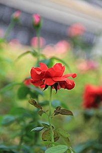 一株红色玫瑰花