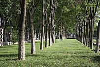 整齐草坪上的成排树木