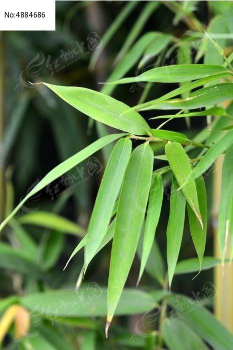 原创摄影图 动物植物 树木枝叶 竹叶