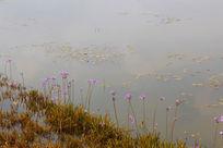 岸边点缀盛开的紫色花