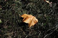 草地上金黄的落叶