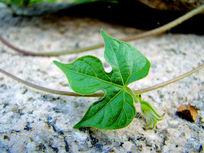 长在绿藤上的绿叶