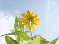 淡黄色的白日菊