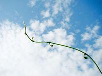 靠近白云朵的绿藤