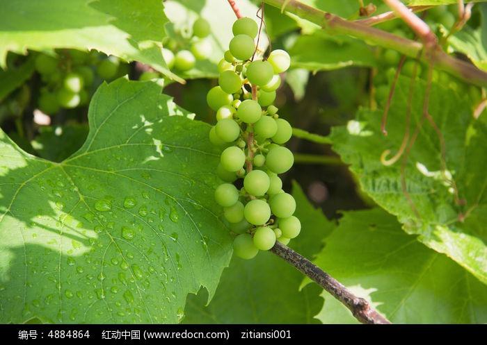 原创摄影图 动物植物 农作物 绿色的葡萄串