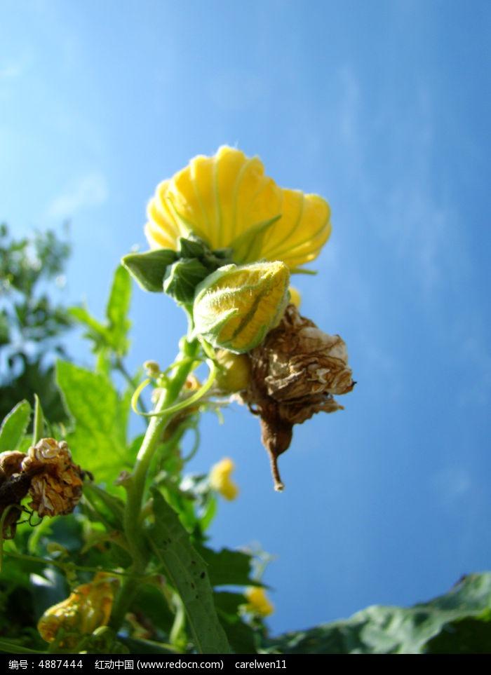 南瓜花的花和花骨朵图片