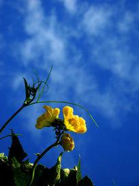 南瓜花和茎叶