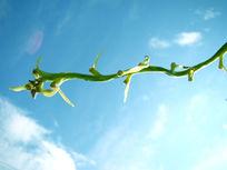 线条优美的绿藤
