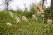 小草边绽放的白色晨光芒