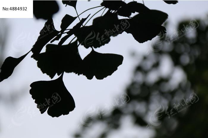 银杏叶剪影图片,高清大图_树木枝叶素材