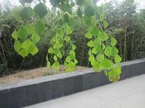 竹子和乌桕叶