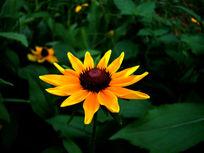 安静的金光黑心菊