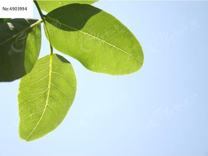 超清晰的槐树叶图片