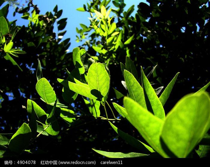 朝阳生长的槐树叶图片