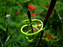 打成螺旋状的绿藤