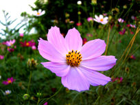 淡紫色大波斯菊