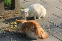 两只大野猫吃食