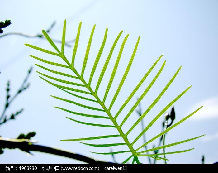 清晰的针形的叶子图片