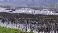 十堰郧阳汉江边江滩上飞翔的白鹭