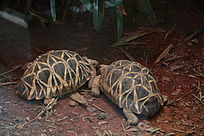 台湾动物园爬行动物二只相亲相爱的乌龟