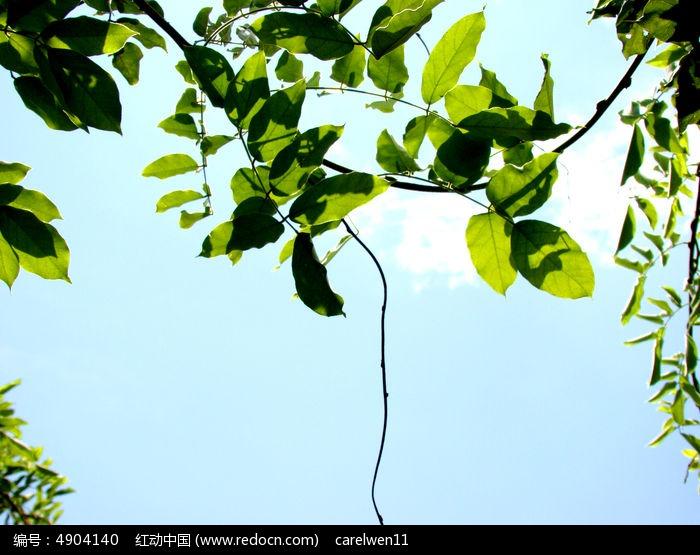 天空里的槐树叶图片