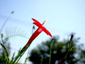 幼嫩的五角星花