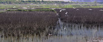 郧阳汉江边湿地上飞翔的白鹭