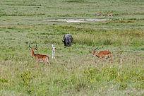 草原上的羚羊与野牛
