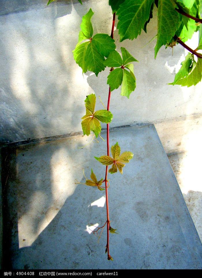 原创摄影图 动物植物 花卉花草 垂在石头上的爬山虎