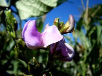 淡紫色豌豆花