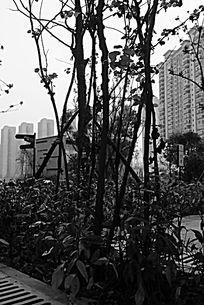 黑白摄影小区的紫荆花树干