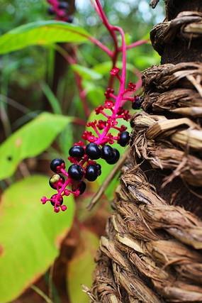 黑色小果野生植物花草