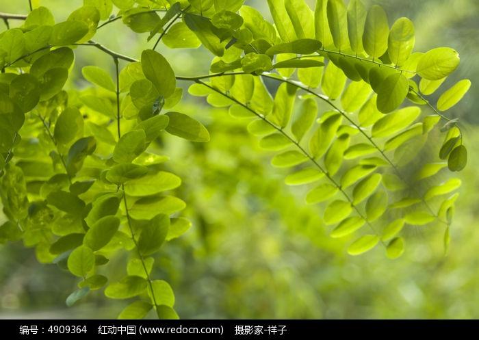 槐树叶图片