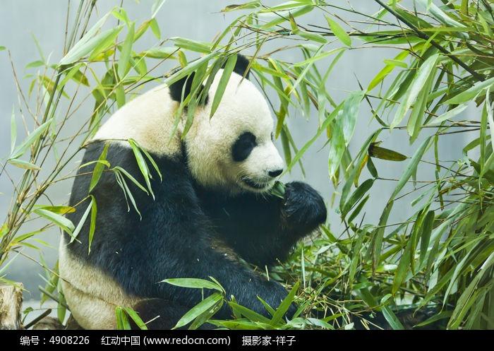 可爱的大熊猫图片,高清大图_陆地动物素材