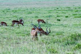 羚羊在草地上