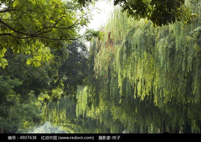 原创摄影图 动物植物 树木枝叶 柳树  请您分享: 红动网提供树木枝叶