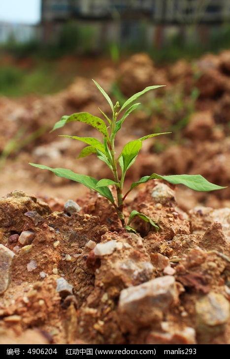 原创摄影图 动物植物 花卉花草 阳光下泥土中的绿色小野草