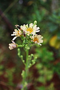野菊花植物花卉