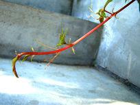 优雅的爬山虎绿藤