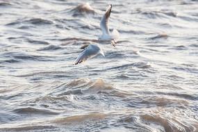 迎着浪花飞翔的海鸥