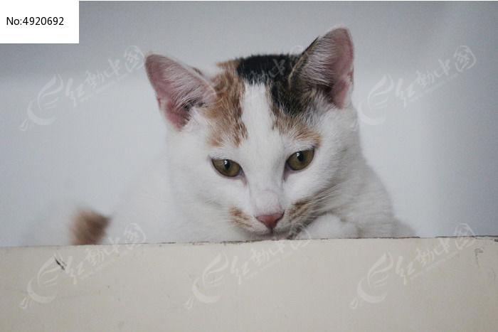 低头往下看的白色猫咪图片