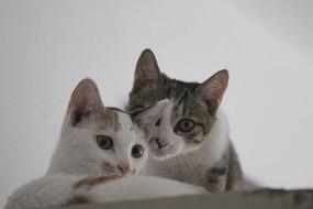 看镜头的两只小猫