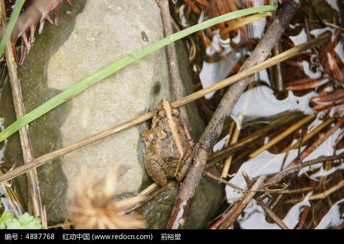 原创摄影图 动物植物 水中动物 树枝上的土蛙