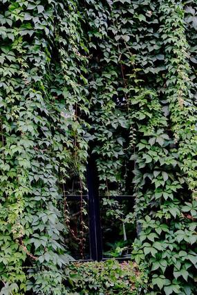 被绿色爬山虎遮挡起来的窗户