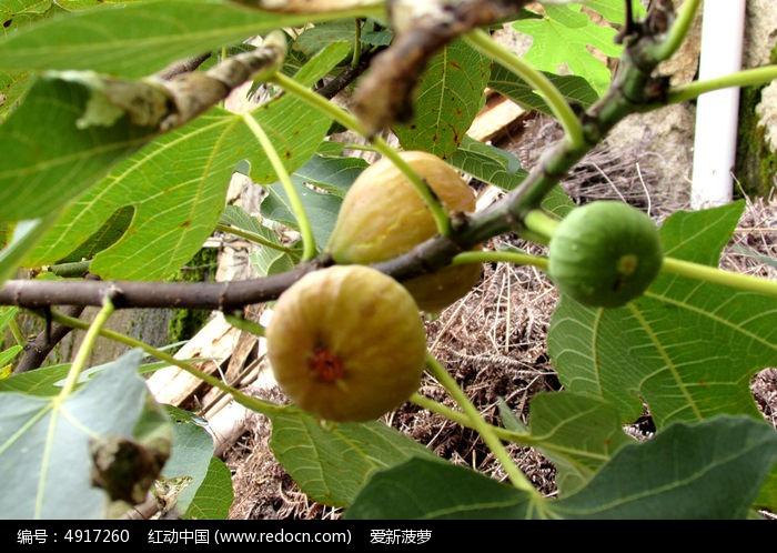 原创摄影图 动物植物 花卉花草 成熟的无花果果实  请您分享: 红动网