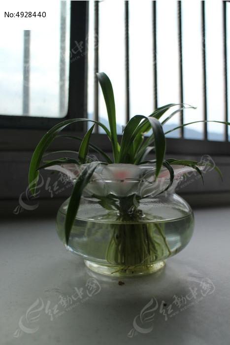 原创摄影图 动物植物 花卉花草 窗前玻璃瓶中的水养植物盆栽兰草