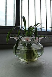 窗前玻璃瓶中的水养植物盆栽兰草