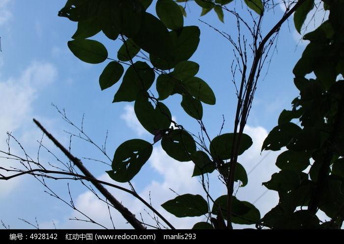 蓝天白云下逆光通透的树叶