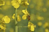 蜜蜂和油菜花