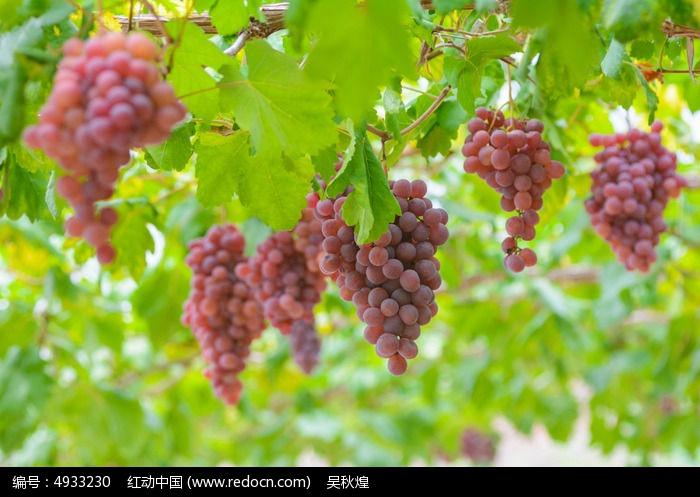原创摄影图 动物植物 农作物 葡萄园 葡萄庄园  请您分享: 红动网提供